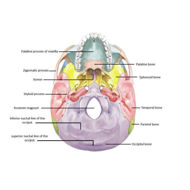 Bottom_View_Skull