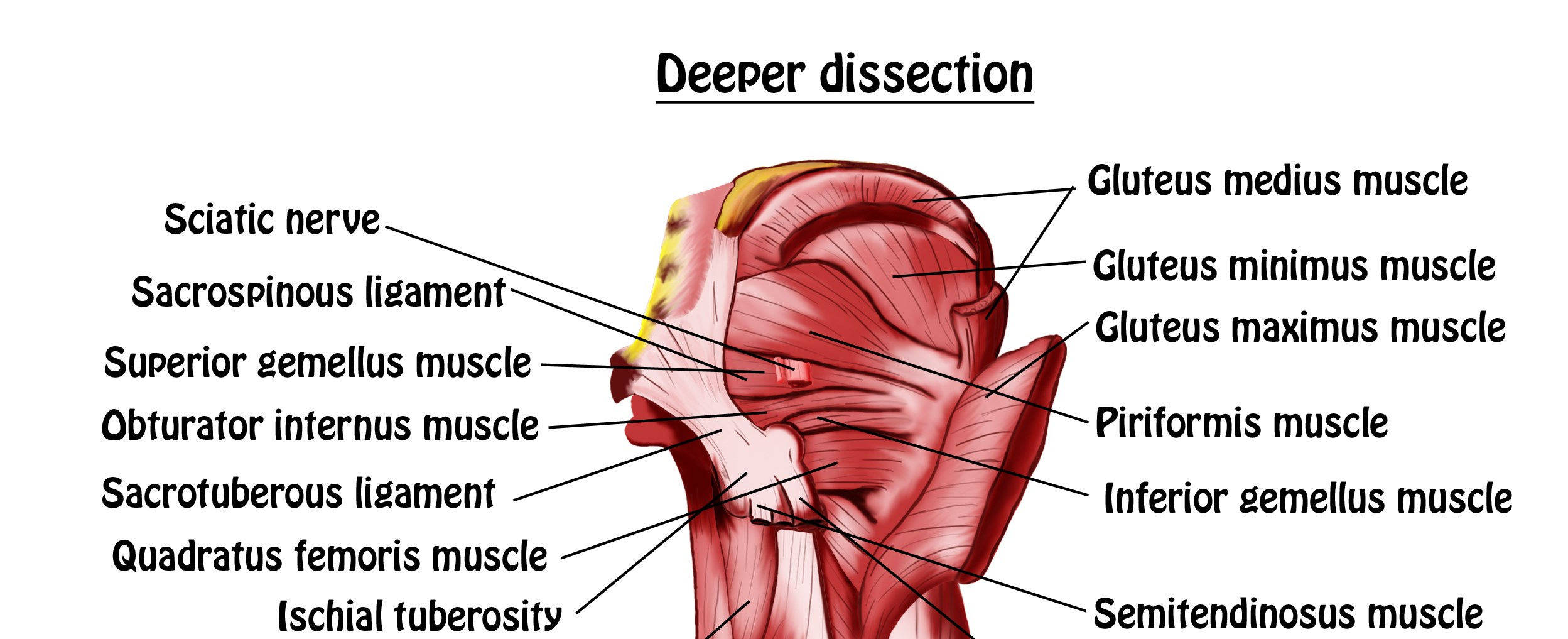 Muscles of Hip and Thigh - Deeper dissection view copy