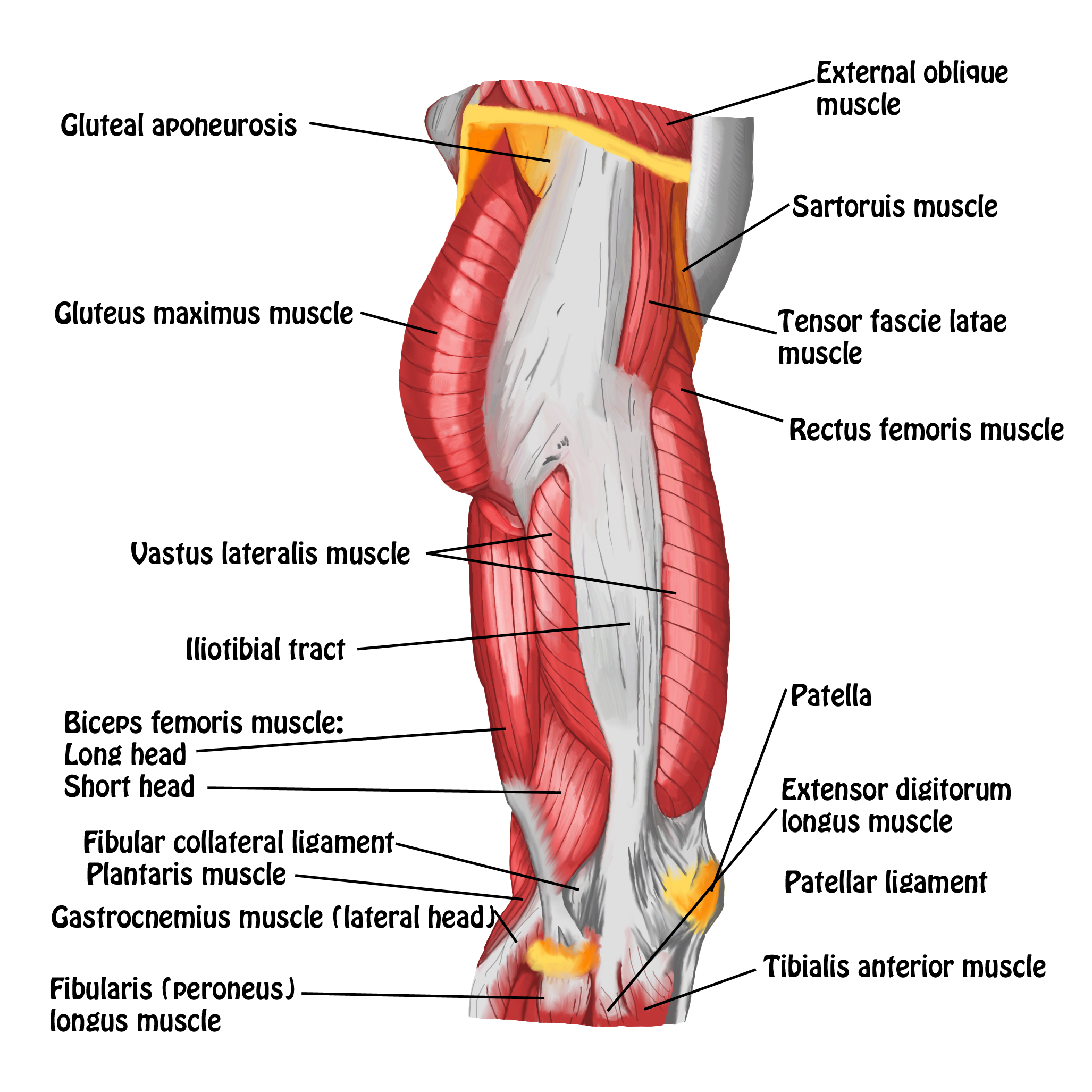 smrt: thigh & knee – massage magazine right thigh muscle diagram