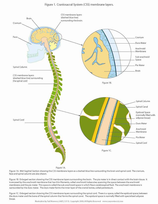 The Myodural Bridge: Small Size, Large Influence, MASSAGE Magazine