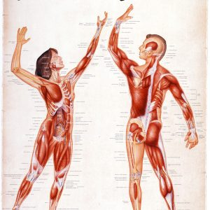 Muscles in Motion (Living Anatomy Chart Series)