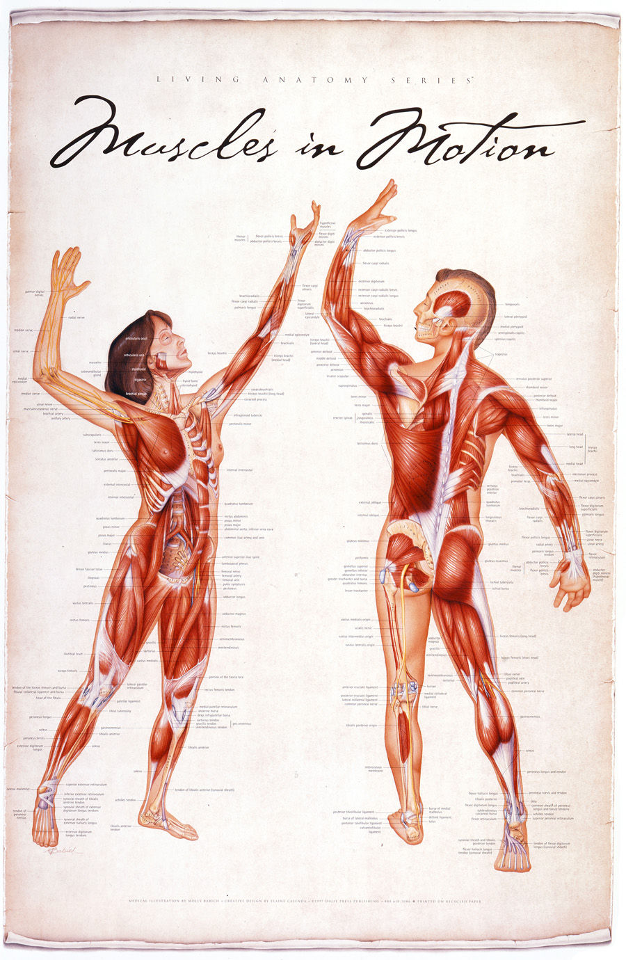 Muscles In Motion Living Anatomy Chart Series Products Directory