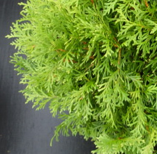 Arborvitae Wild Essential Oil