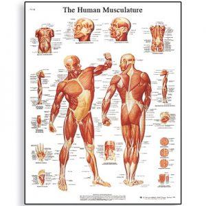 Human Muscle Chart