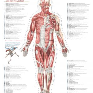 Trail Guide to the Body's Muscles of the Human Body posters
