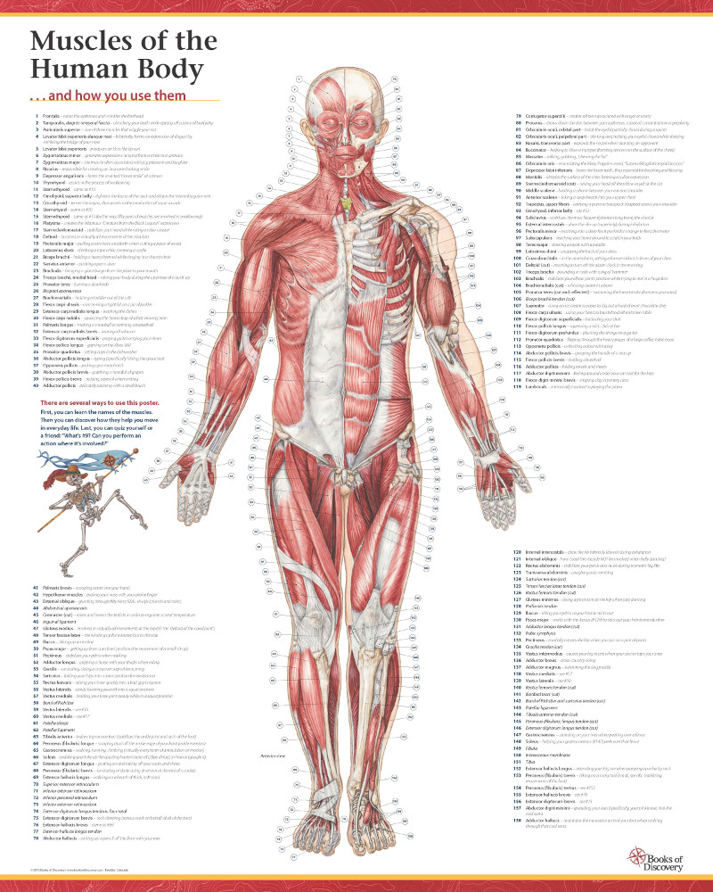 trail guide to the body s muscles of the human body posters rh massagemag com trail guide to the body how to locate muscles bones and more trail guide of the body 4th edition