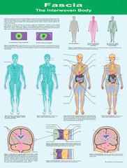 Fascia: The Interwoven Body Wall Chart