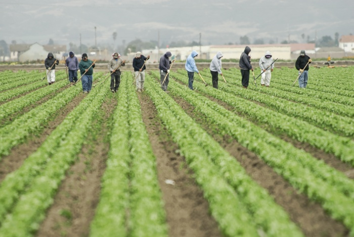 A group of farm workers hoe a large field along California's central coast.