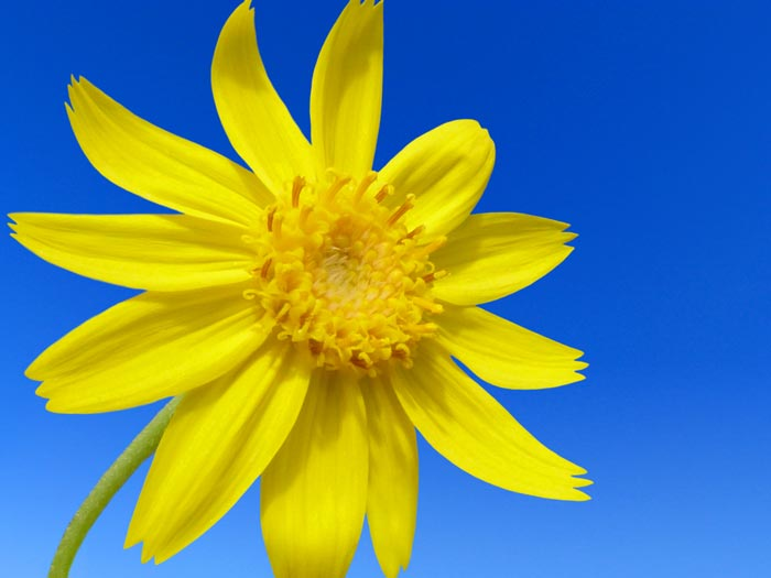 does massage with arnica improve circulation